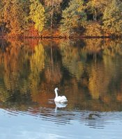 The amazing swans at serene Lake Logan in the Hocking Hills